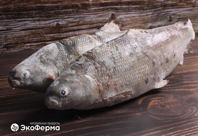 Что такое чир? Рыба, которая вам понравится | 1030x1500